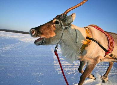 reindeer-in-lapland_8892-3aeb1f884e485d42183c561bc4099cea.jpg